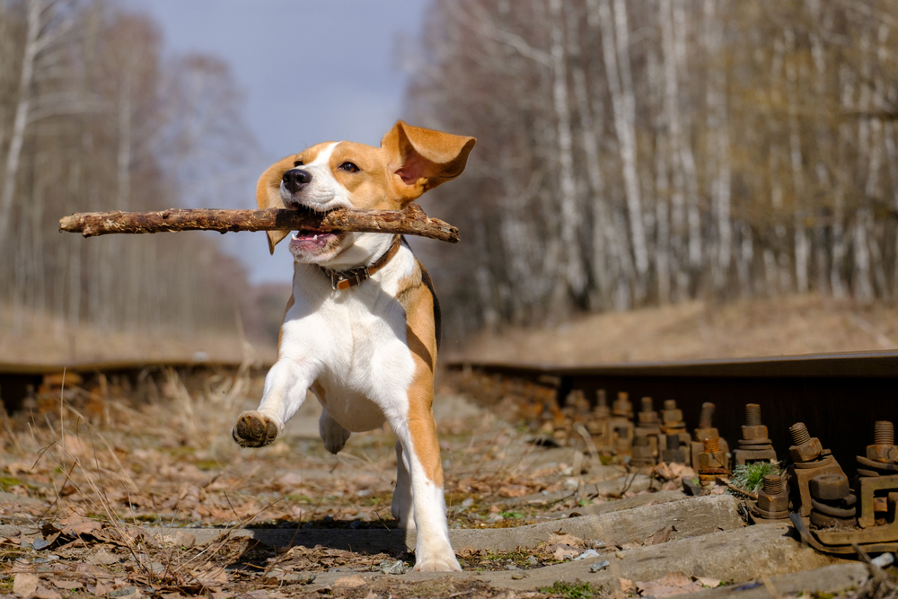 dog running with stick after orthopedic surgery